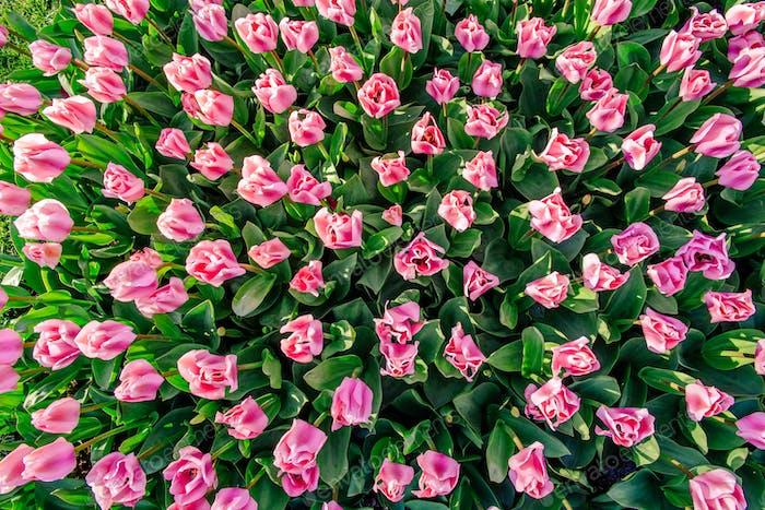 Rosa Tulpen in Holland.