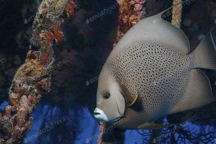 Grauer Kaiserfisch am Lebensraum des Wassermanns, einer Unterwasserforschungsstation., Grauer Kaiserfisch