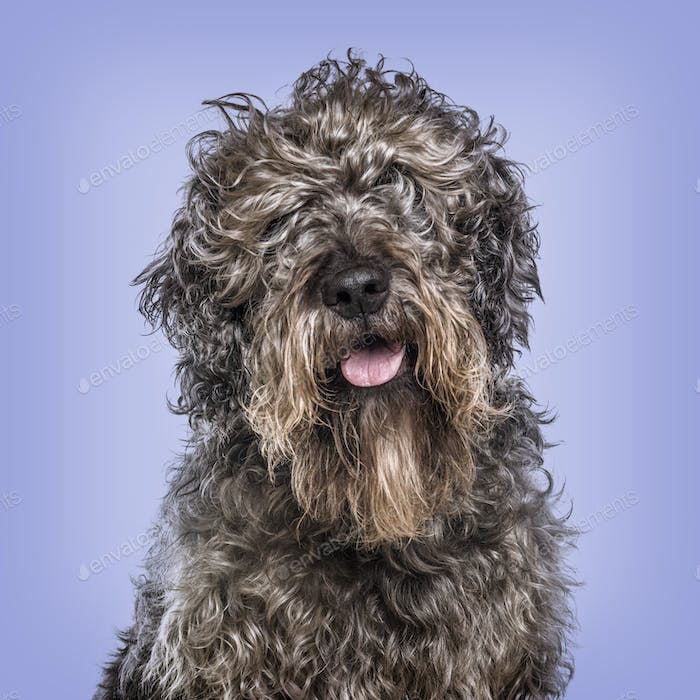 Cross-breed dog against blue background