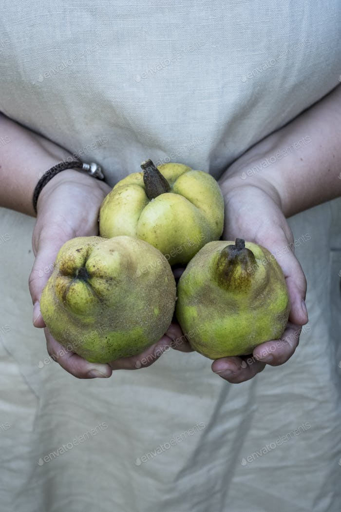 Close up of person holding three quinces.