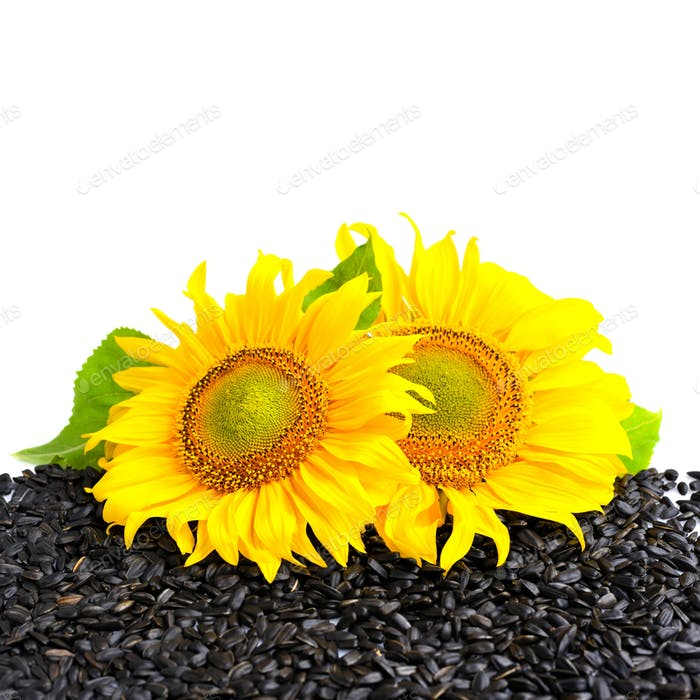 Two sunflower and sunflower seeds on a white background with emp