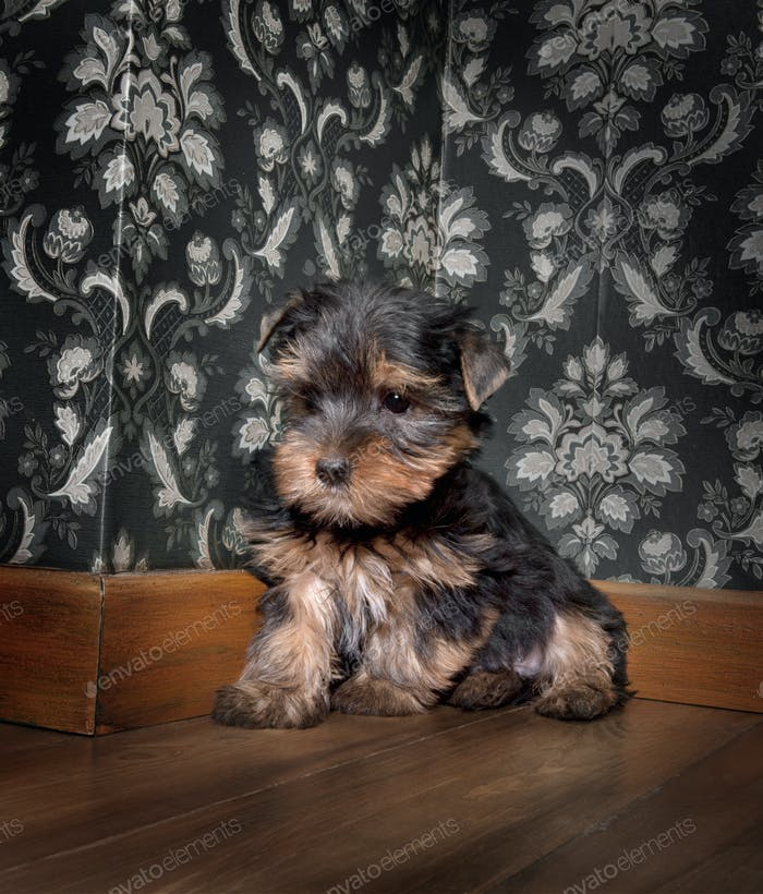 puppuy yorkshire terrier in a retro room