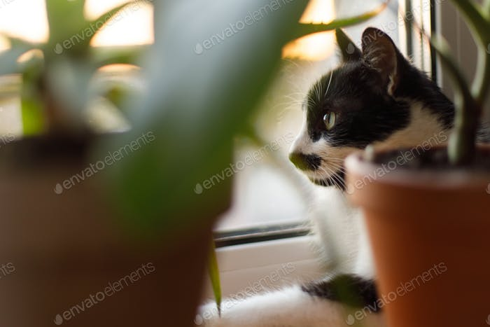 Cute cat sitting among green plants on windowsill and looking through window in sunset