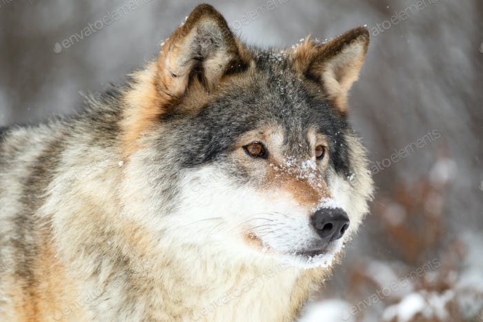 Close-up portrait of a beautiful wolf in the cold winter