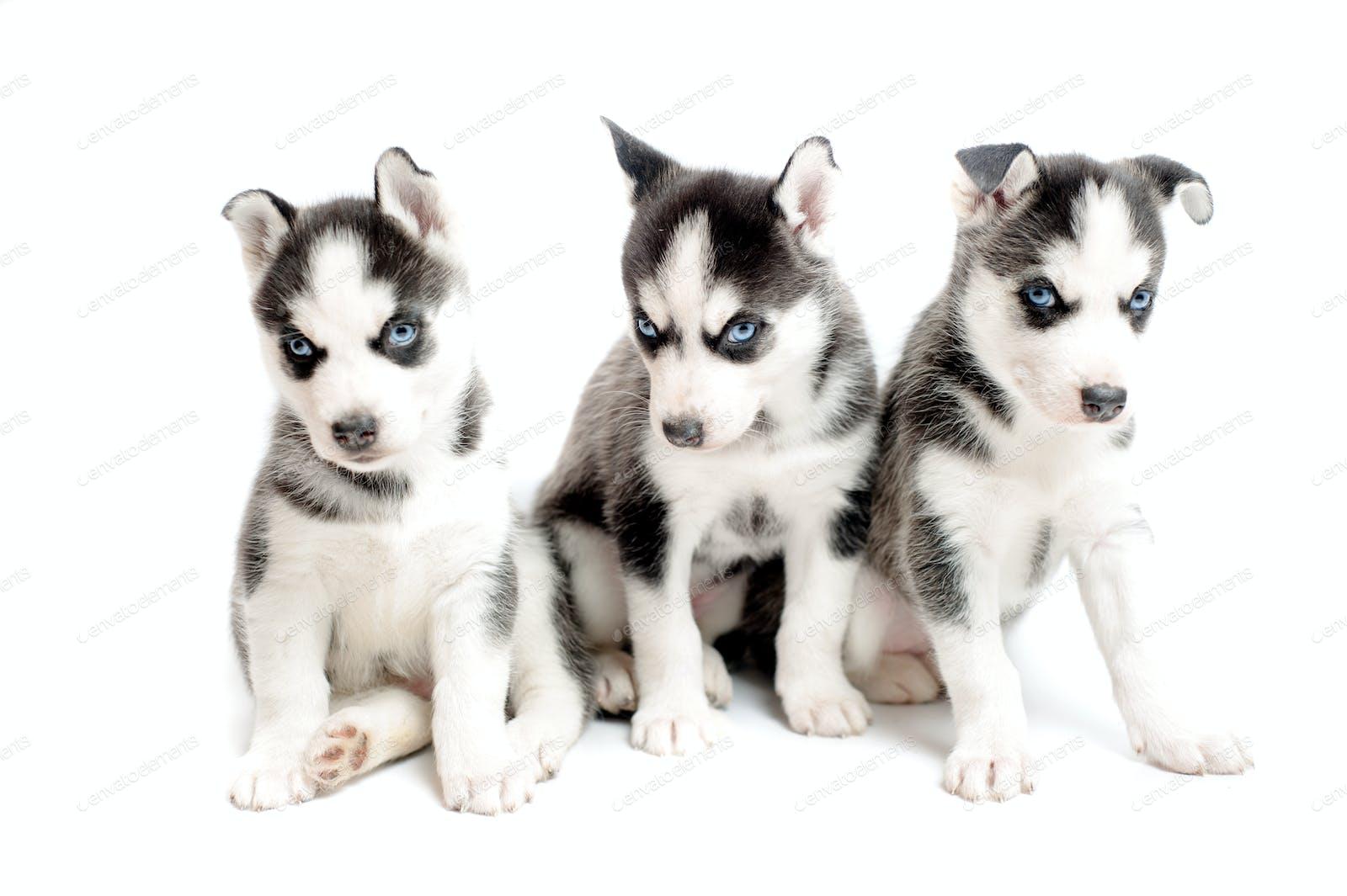 Three Purebred Siberian Husky Puppies