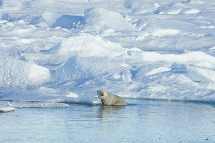 A polar bear sitting on an ice floe looking around.