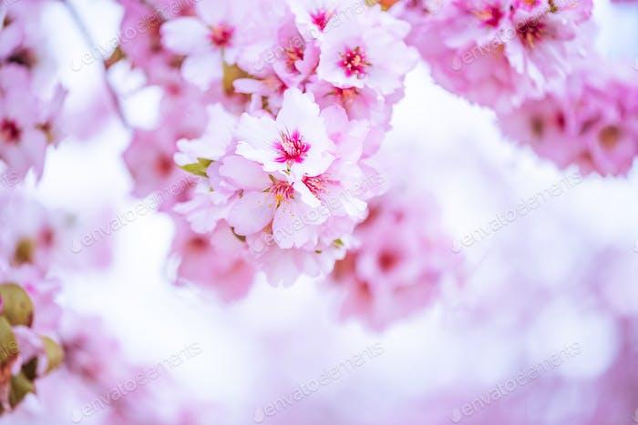 Frühlingsblüten Obstgarten. Abstrakter verschwommener Hintergrund.