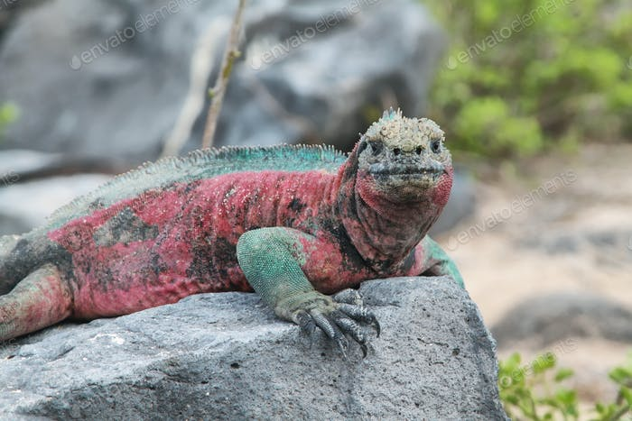 Galapagos Marine Leguan ruht auf Felsen