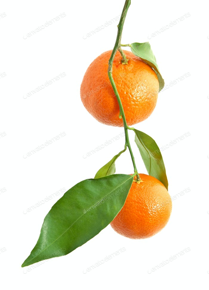 Isoaltierte Mandarine.