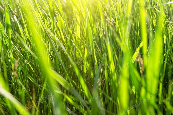 Green grass lit by bright sun
