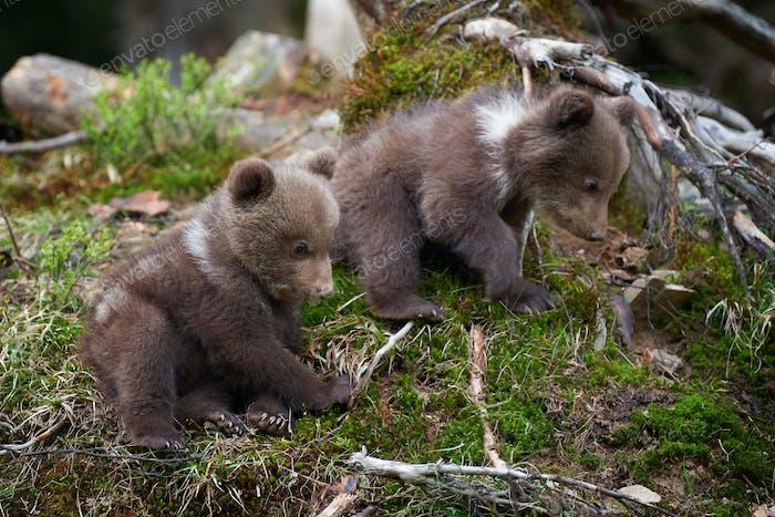 Wild brown bear cub closeup