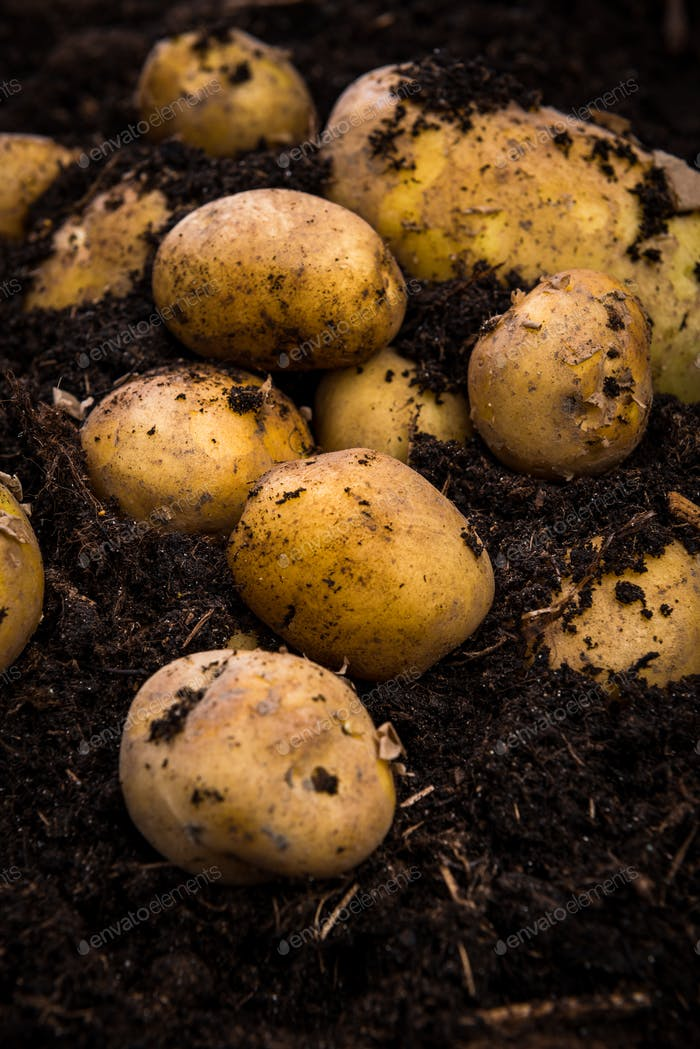 Bunch of Fresh Harvested Potatoes in Soil Dirt
