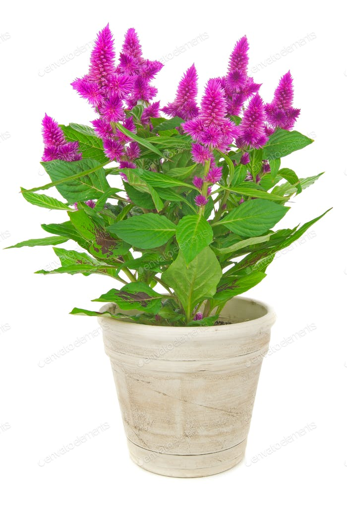 A Potted Cockscomb Plant