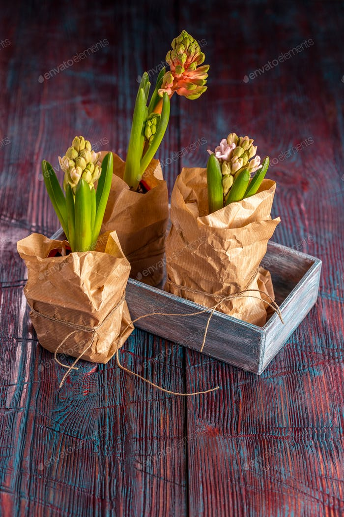 Schöne Frühlingsblumen Hyazinthe