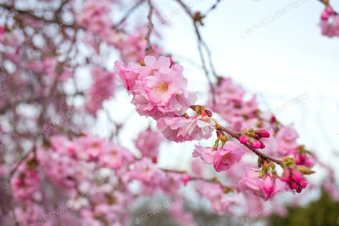 blooming sakura tree