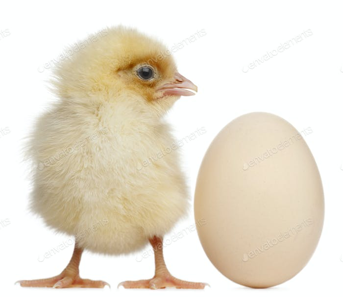 Chick with egg, 2 days old, in front of white background