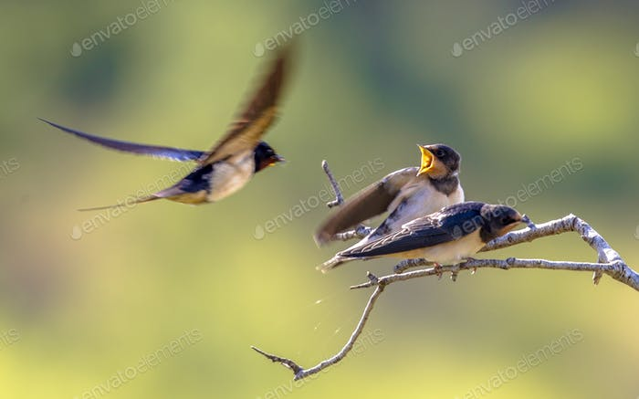 Barn swallow feeding juveniles