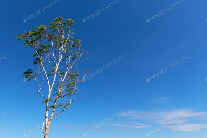 Eucalyptus tree and the sky on a fair weather day