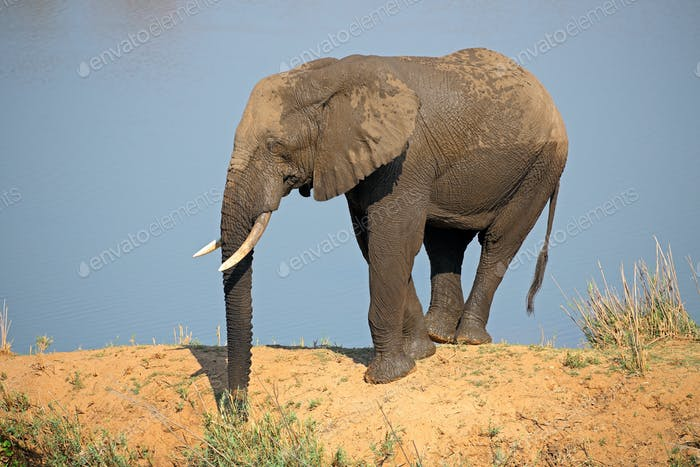 African elephant in natural habitat