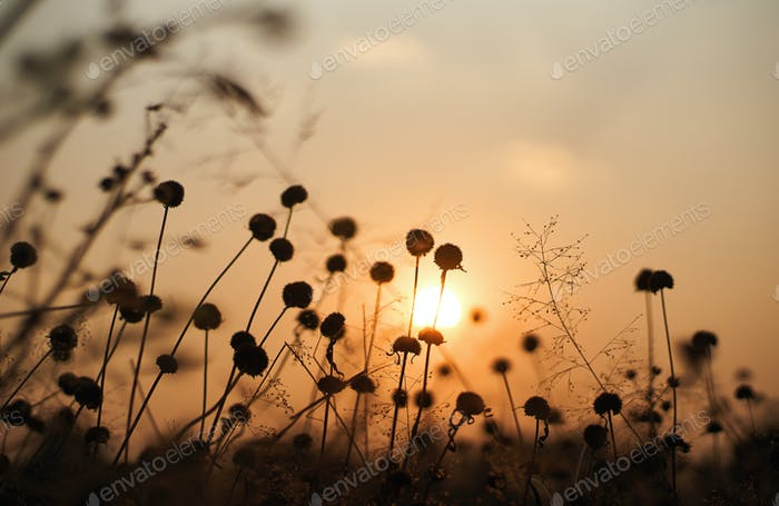 Wilted flower with and the sunset