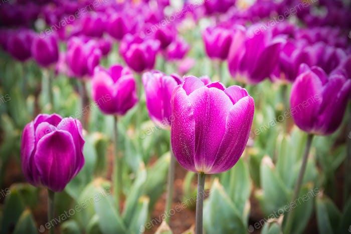 purple tulips field closeup