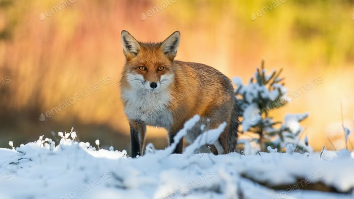 Red fox looking to the camera on snow in winter nature
