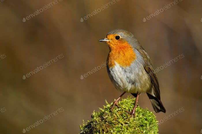Cute european robin sitting on green moss on a sunny spring day in nature