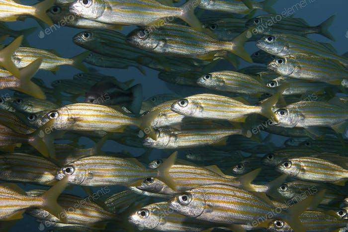 Schul Fischmasse zum Schutz vor größeren Raubtieren., Schule für Kleinmundgrunt (Haemulon