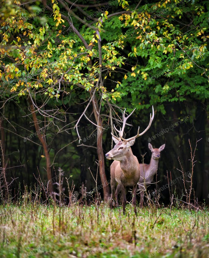 Majestic adult red deer in autumn forest