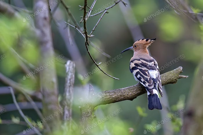 Hoopoe in the forest