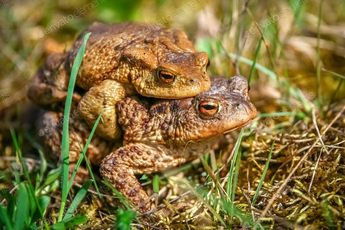 Mating Frogs in spring