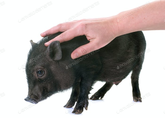 stroking black piglet in studio