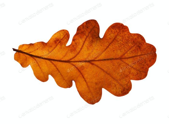 Oak Closeup Leaf Isolated On White Background.