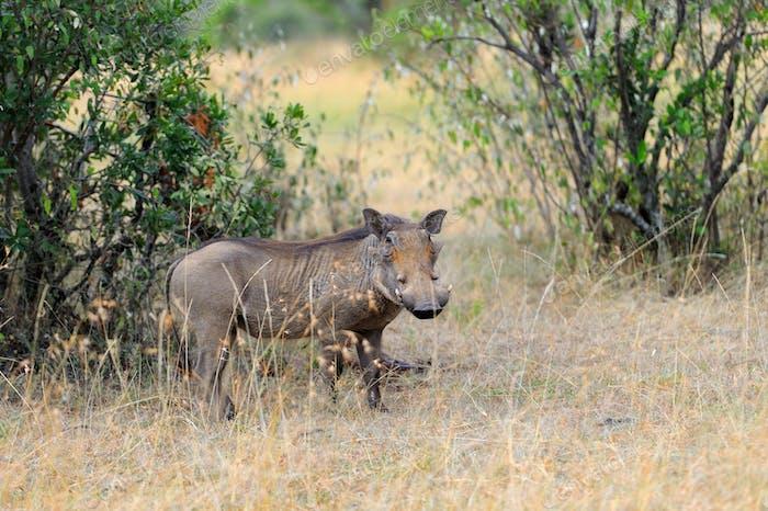 Warthog on the National Park, Kenya