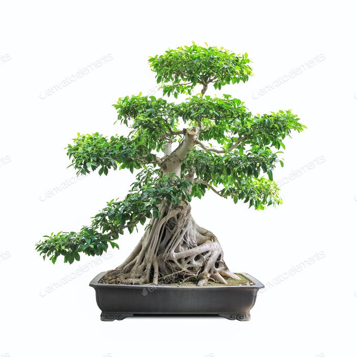 grüner Bonsai Banyan Baum