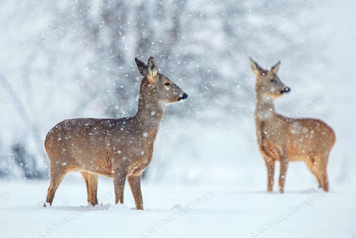 Wild roe deer in a snowfall