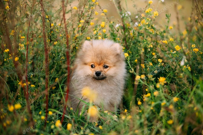 Young Happy White Puppy Pomeranian Spitz Puppy Dog Sitting Outdo