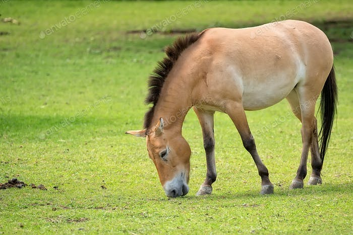 Przewalski's horse in the wild