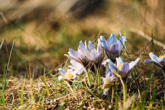 Wild Spring Flowers Pulsatilla Patens. Flowering Blooming Plant