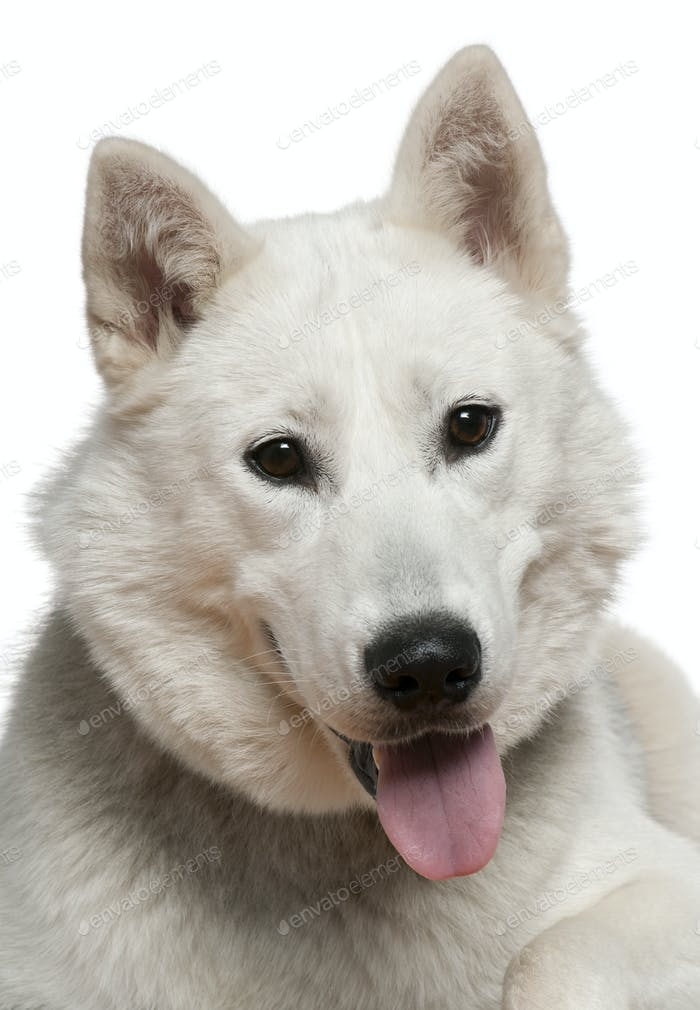 Siberian husky, 1 year old, in front of white background