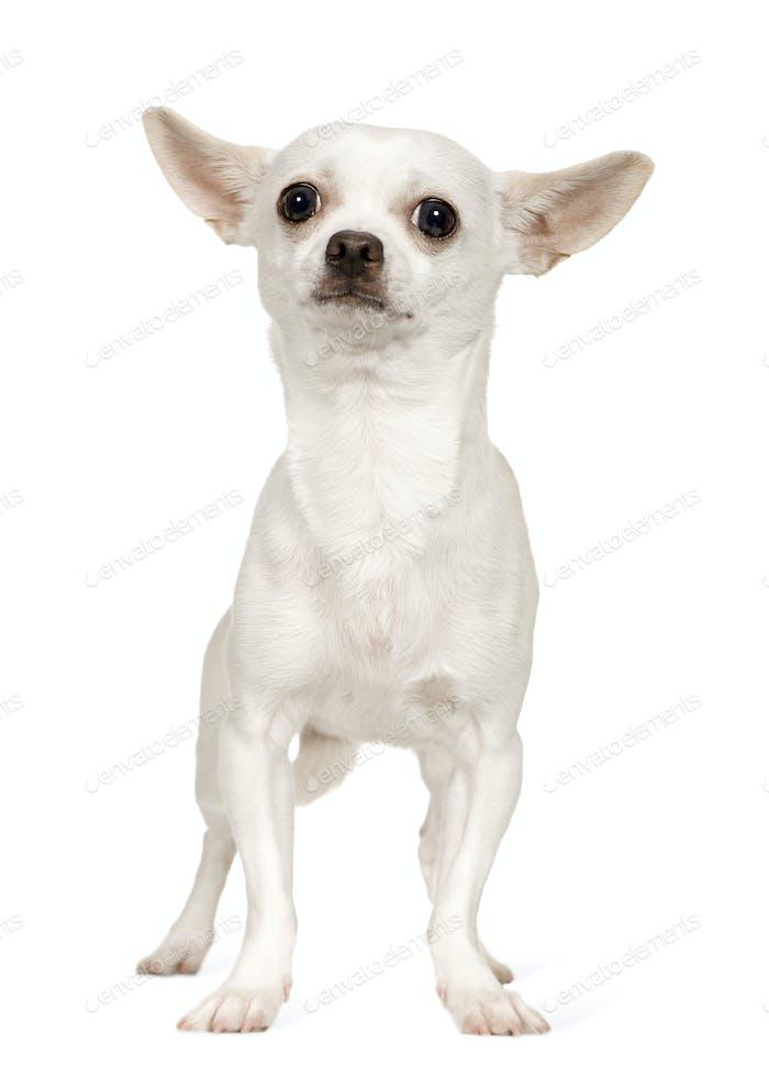 Chihuahua (9 months)