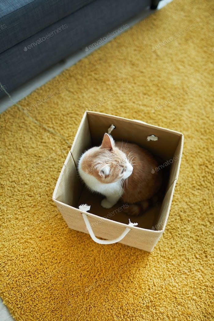 Domestic cat in the box