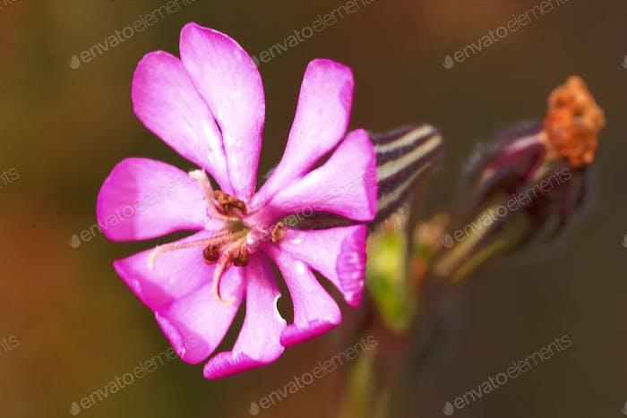 Flower ( Silene colorata )