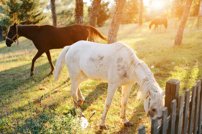 Several horses graze on the lawn behind the fence