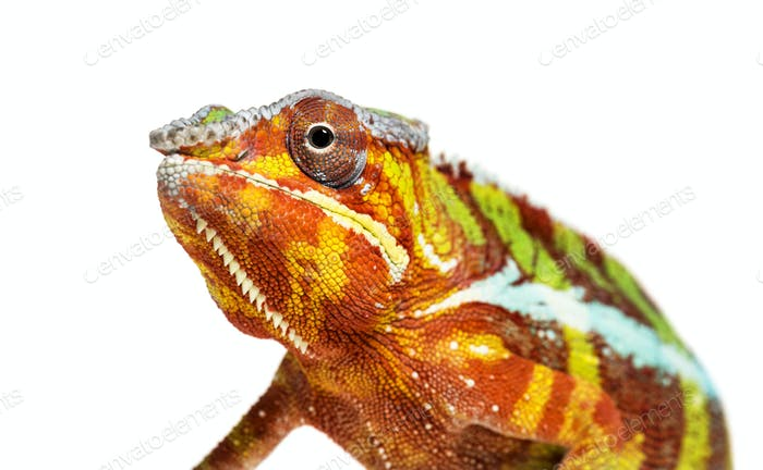 head of Panther chameleon, Furcifer pardalis looking at camera against white background