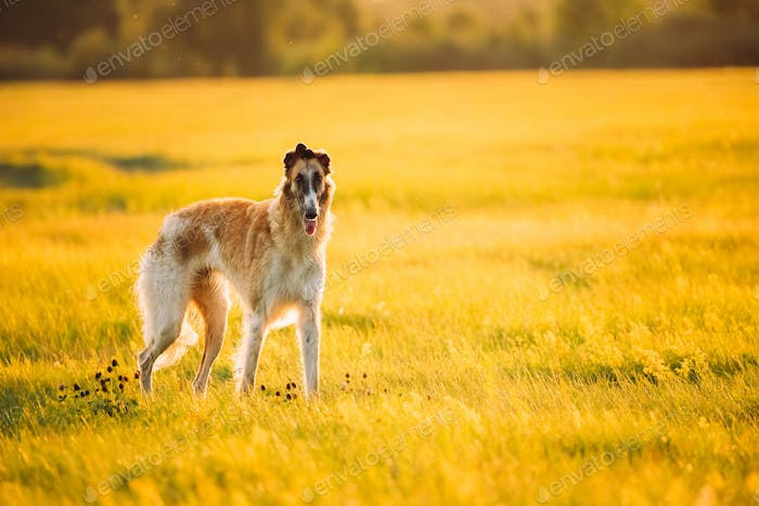 Russian Dog, Borzoi In Summer Meadow Or Field At Sunset