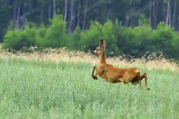 Roe-deer in the run