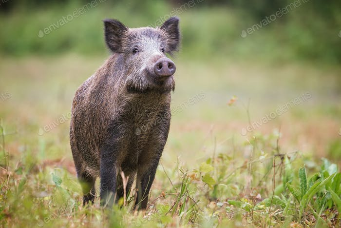 Curious wild boar, sus scrofa, sniffing for danger on hayfield in daylight