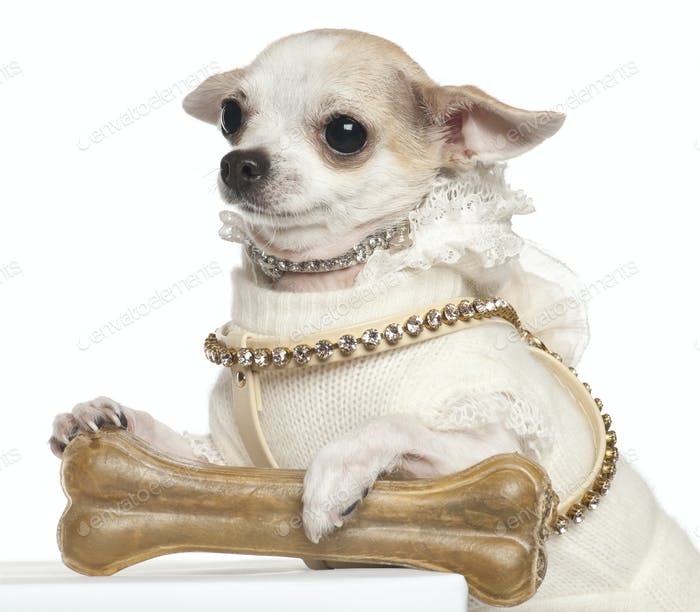 Chihuahua, 2 years old, sitting against white background