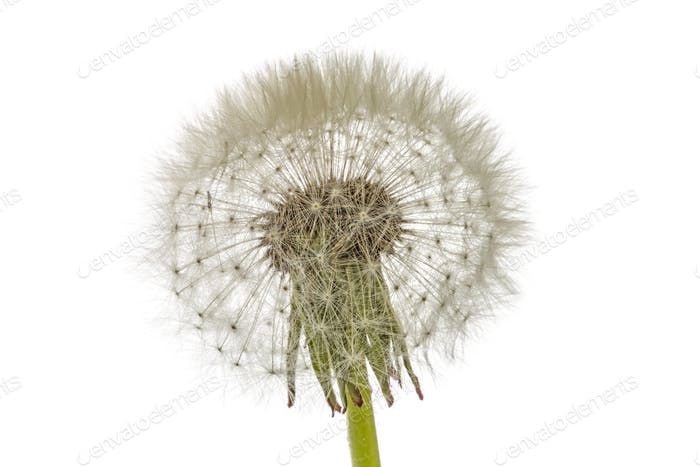 Thumbnail for Old  dandelion isolated on white background